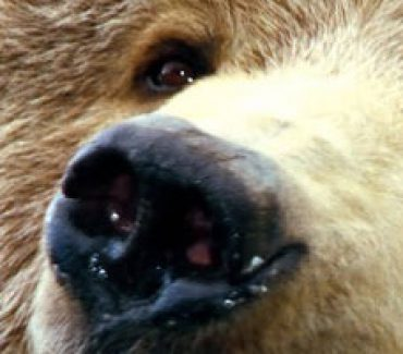 viaggi canada sussurro grizzly