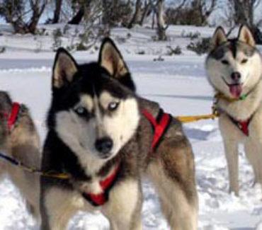 safari artico sulle tracce del lupo