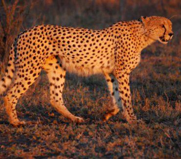 Ghepardo Sud Africa Turismo